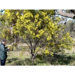 Acacia pycnantha usually grows into a small Tree