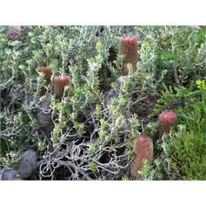 Banksia praemorsa, coast south of Albany, WA