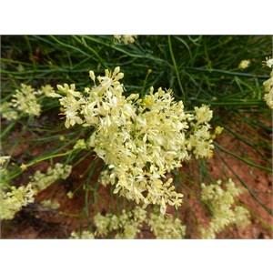 Pop flower - Glyschrocaryn flavescens