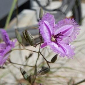 Fringe Lily - Thyasanotus manglesianus