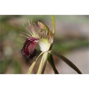 Scott River Spider Orchid.