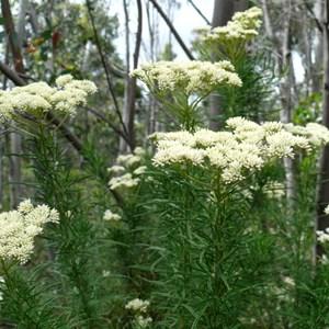 Cassinia aculeata, Brindabella Ranges near Canberra.