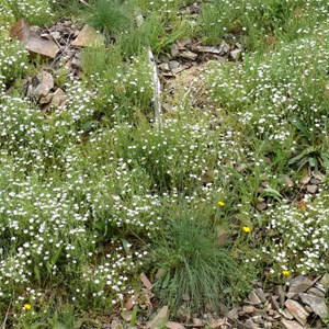 Stellaria pungens, Brindabella Ranges, NSW