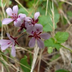 Pelargonium inodorum or Kopata, Brindabella Ranges, NSW/ACT