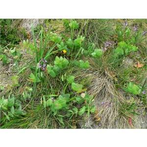 Veronica perfoliata, Brindabella Ranges, NSW/ACT