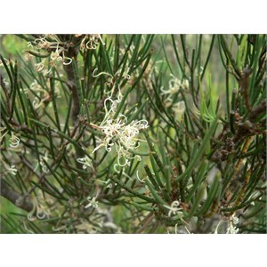 Hakea microcarpa, Brindabella Ranges, NSW/ACT
