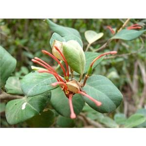 Grevillea victoriae, Brindabella Ranges, NSW/ACT