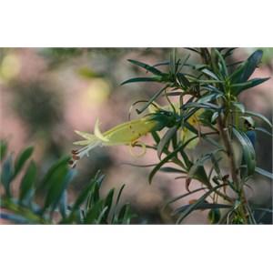 Erimophila maculata subs. maculata: Yellow form