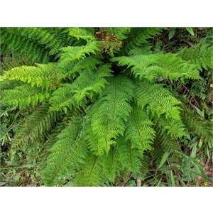 Mother Shield fern
