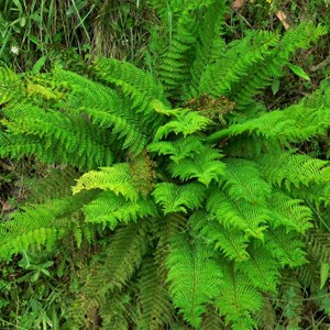 Mother Shield fern