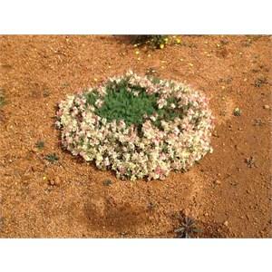 Wreath plant