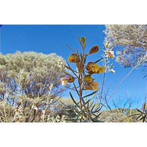 Eremophila eriocalyx - Desert Pride