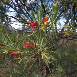 Eremophila oldfieldii subsp. angustifolia