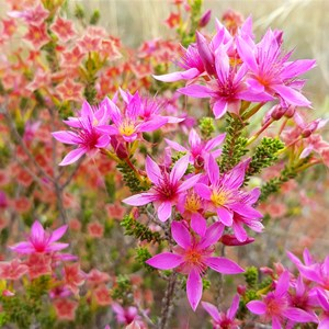 Desert Star Flower