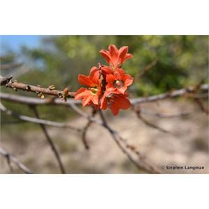 Red Flowered Kurrajong