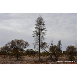 Christmas Tree Mulga