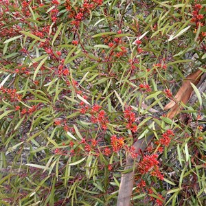 Narrow leaved red mallee