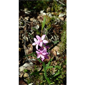 Crowea angustifolia