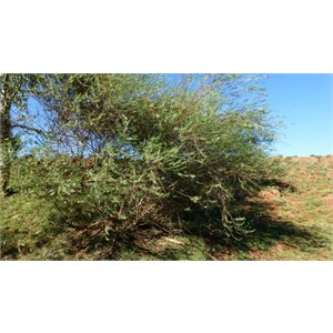 Slender Petalostylis - Petalostylis labicheoides
