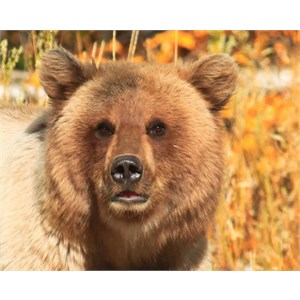 Clicksoftware Field Service Software Sdks in addition Category Mammals together with Category Mammals furthermore MyProfile furthermore Wildlife Secrets Revealed With Advanced Tracking Devices. on grizzly gps tracking